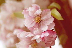 Double Cherry Blossom No. 1