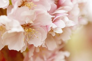 Double Cherry Blossom No. 2