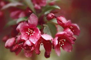 Smoldering Pink Cherry No. 1