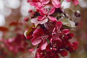 Smoldering Pink Cherry No. 2