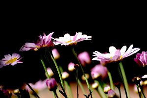Pink daisies in the garden