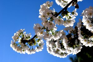 Cherry blossoms on the branch