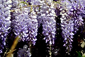 Purple wisteria hanging