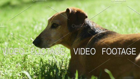 Brown Dachshund Dog Lying Down In Fresh Spring Green Grass