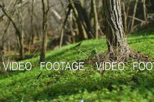 spring sunny forest without leaves and with green grass. smooth camera movement and focus change