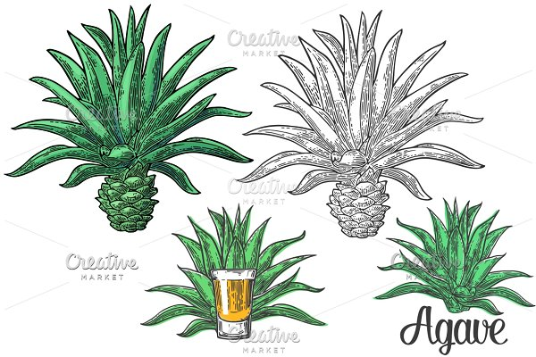 Cactus blue agave glass tequila