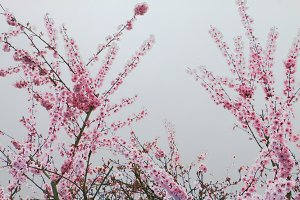 Spring Chinese blossoms.