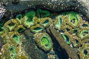 Sea Anemones on rocks