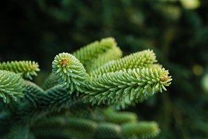 Evergreen tree new growth
