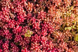 Red Sedum plants