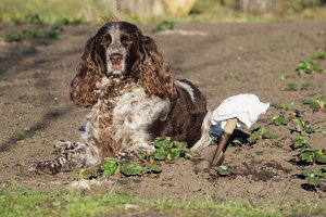 Brown spotted russian spaniel lays on the ground