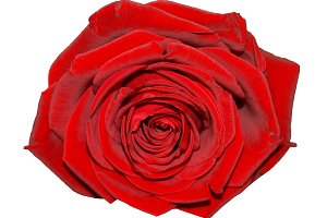 Red rose flower isolated over white