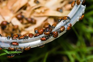 Lady bugs or beetles