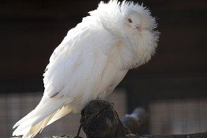 White dove standing