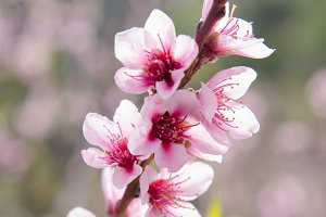 Peach tree flowers
