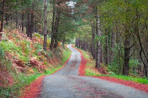 Rural road in a pine forest