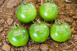Group of green harvested tomatoes