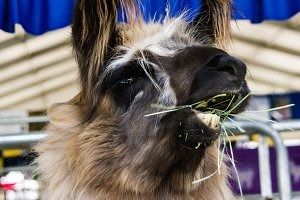 Llama eating or chewing grass