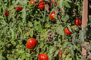 Bush of red ripe tomatoes
