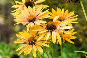 Yellow Echinacea plants in flower