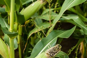 Sweet corn growing in the farm field