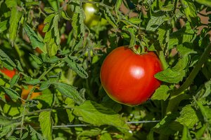 Red ripe tomato on the vine