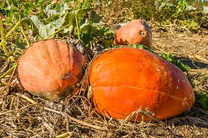 Fall squash in the farmers field