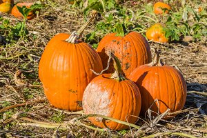 Halloween pumpkins in the field to pick