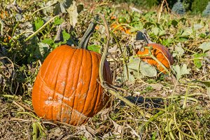 Halloween pumpkins in the field to pick
