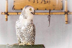 Bird snowy owl