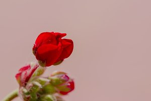 An unopened red geranium