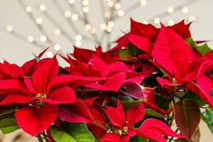 Bright red poinsettia flowers in bloom