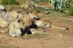 Southwest African Lioness