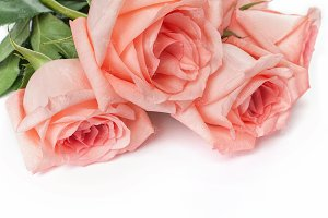 Pink roses stock photography #5590