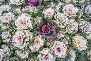 Nature background of purple decorative ornamental cabbage. Top view on flowering ornamental cabbage, floral pattern. Abstract background made of many flowers growing in rural garden.