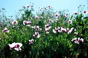 opium poppy field
