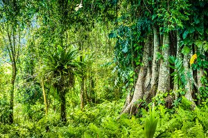 Huge ancient Banyan tree covered by vines in Bali Jungle