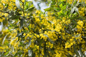 Yellow flowers of mimosa tree