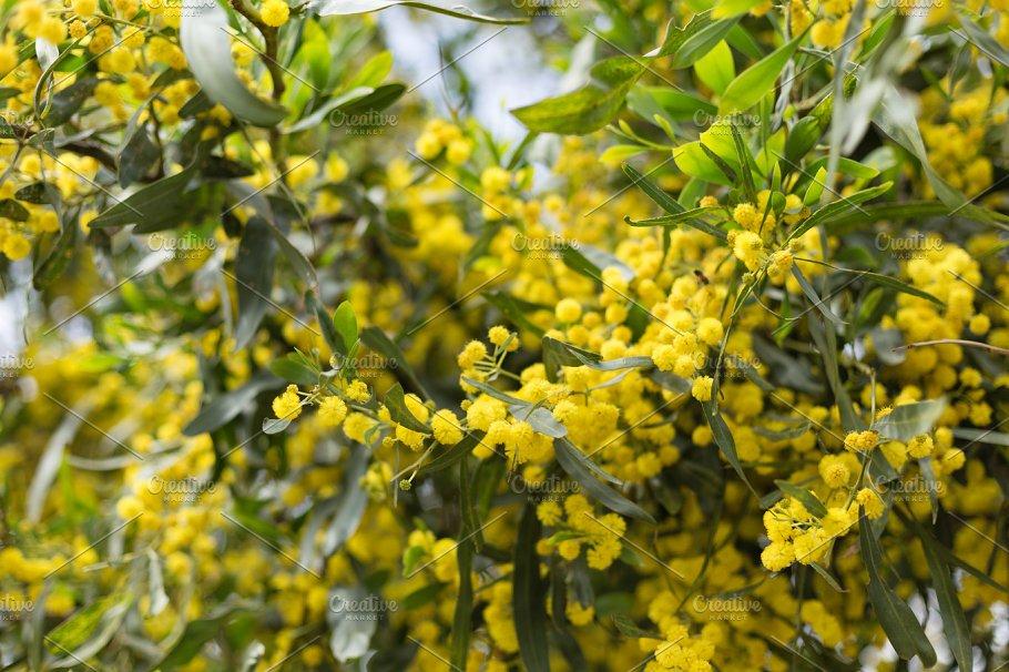Yellow Flowers Of Mimosa Tree Nature Photos Creative Market
