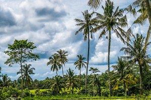 Coconut Palm Trees near Rice tarrace, Sidemen. Bali, Indonesia