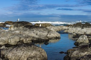 Seagulls searching tidal area for food