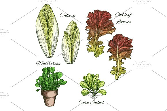 Salads And Leafy Vegetables Vector Icons Set