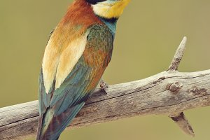 bee-eater.jpg