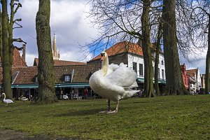 Swan in the park.