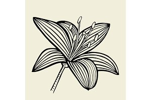 Hand drawn Lily flower