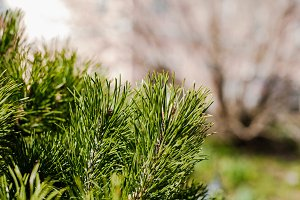 Pine and spruce branches