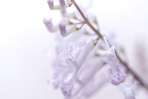 Lilac poetry