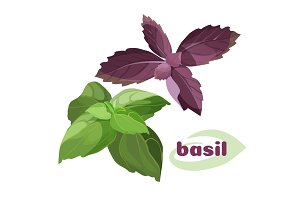 Fresh basil leavesi green purple color bunches isolated on white