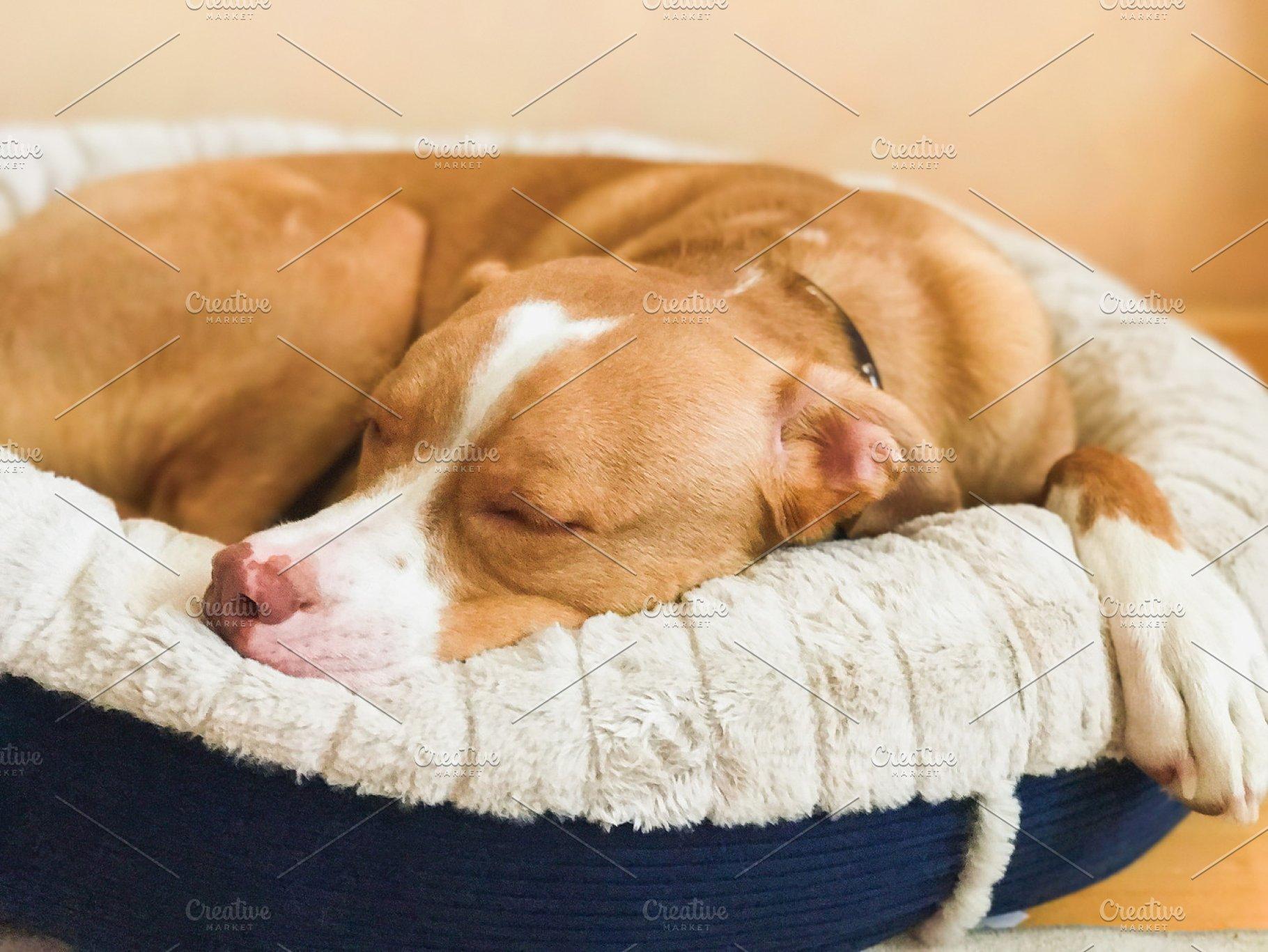 Sleeping american pit bull terrier, beige color