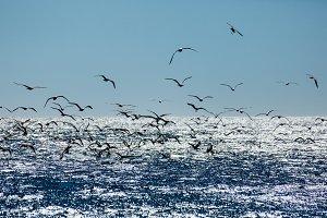 Seagulls fishing